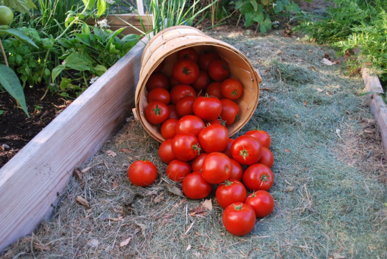 tomatoes_01.png