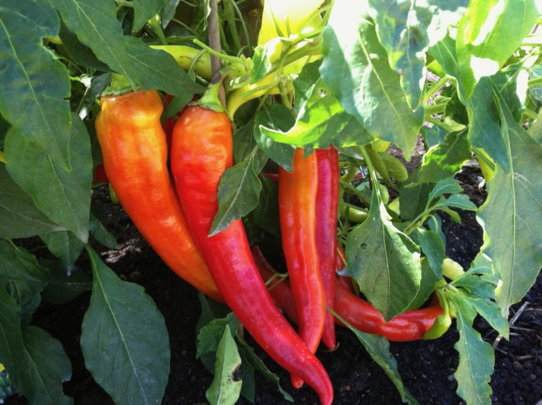 peppers1-768x574.jpg
