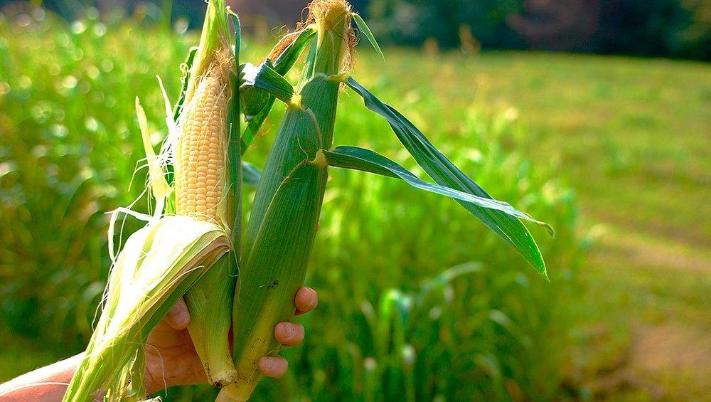 corn_ripe_01.jpg