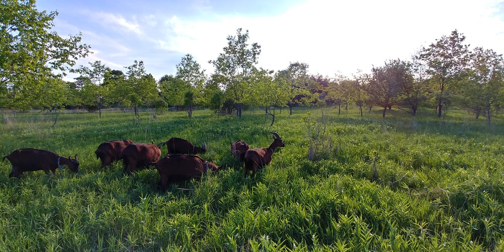 Goats, Folk Tree Farm