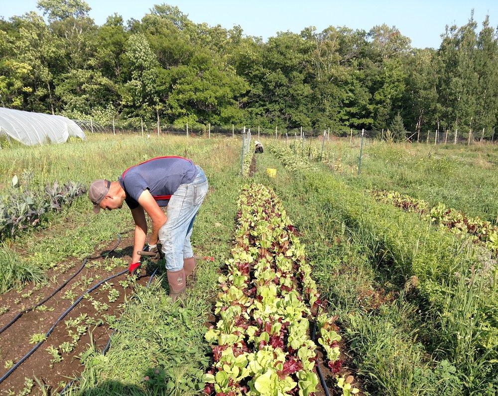 Lettuce Harvest, Hoot Blossom Farm