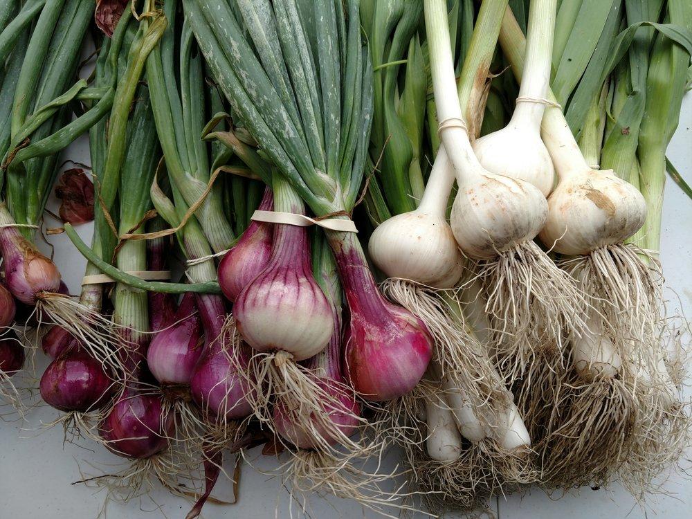 Shallots and Garlic, Hoot Blossom Farm