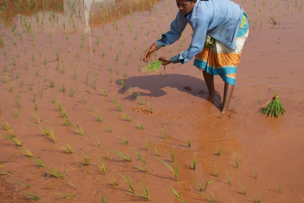 Optimized-planting paddy fields 1.JPG