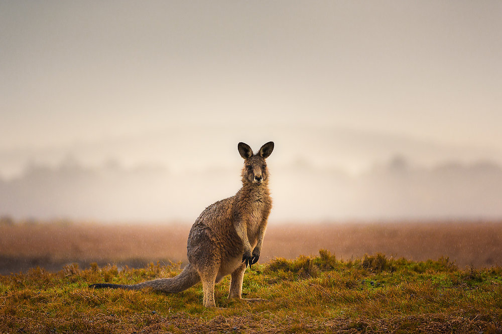 4. Eastern Grey Kangaroo, Narawntapu National Park