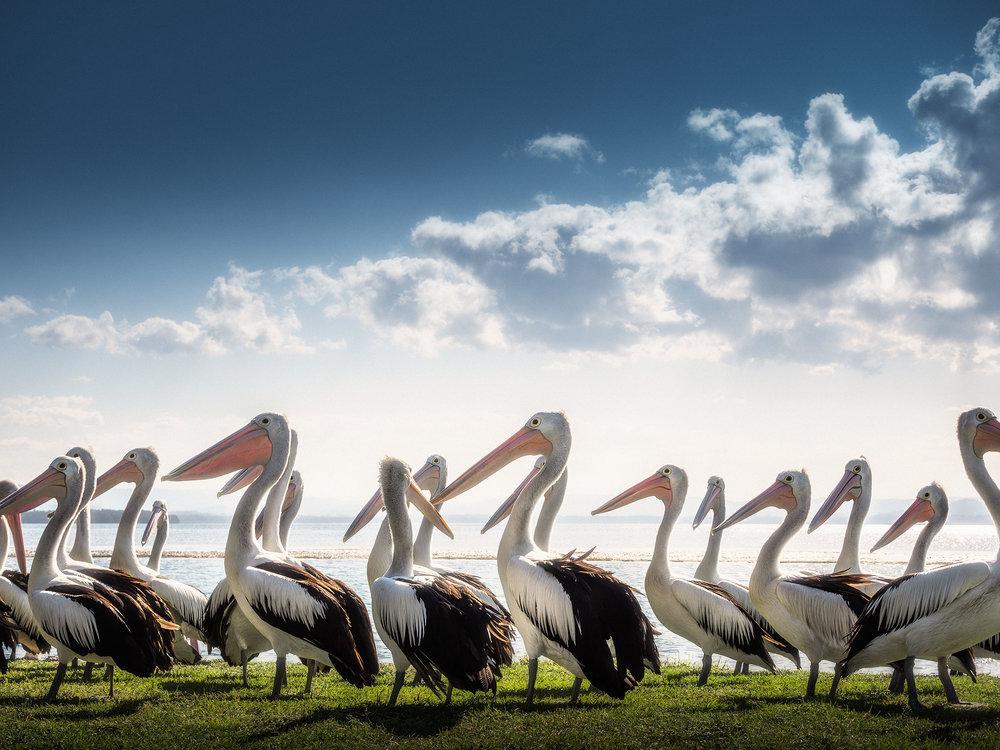 Pelicans_01.jpg