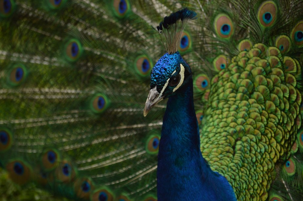 Our beautiful peacock!