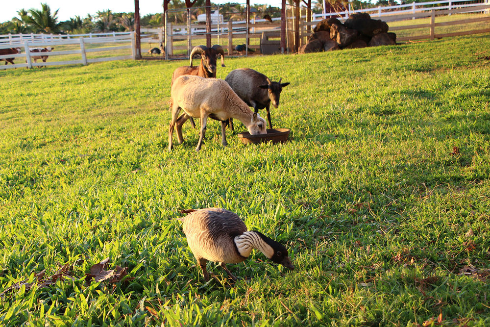 Dinner time at Lahaina Animal Farm