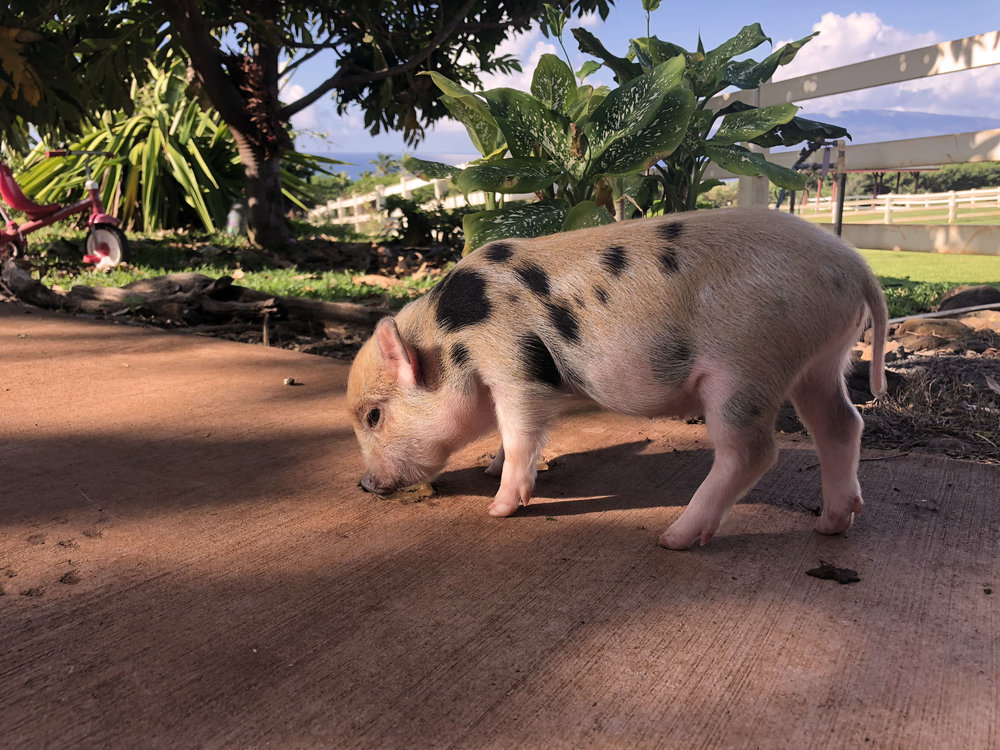 """Pua"" the pot bellied pig at 6 months of age."