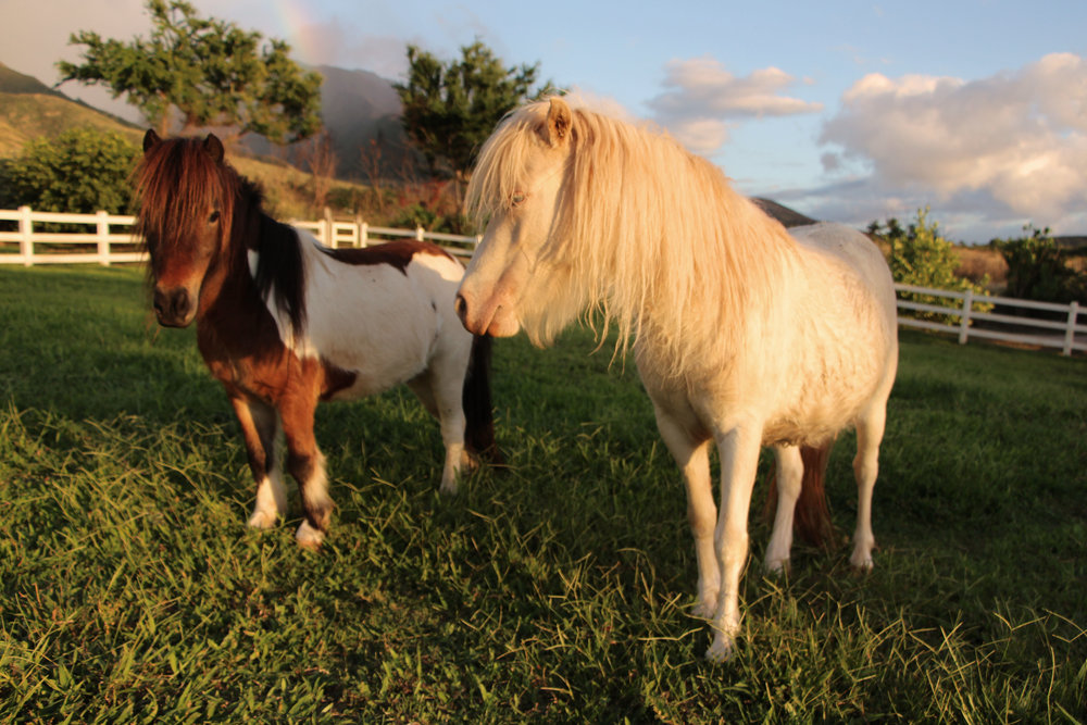 "The inseperable duo, miniature horses ""Makani"" and ""Surprise"""