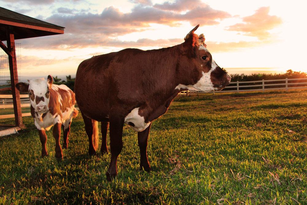 Mini cow Kuipo and her baby Pono