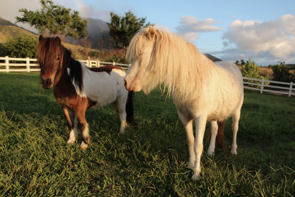 "Miniature Horses - Meet and feed our miniature horses ""Surprise"" and ""Makani Ua"", (Wind and Rain) these two make the farm a magical place! If you are lucky you will see this inseperable twosome frolicking in the pasture!"