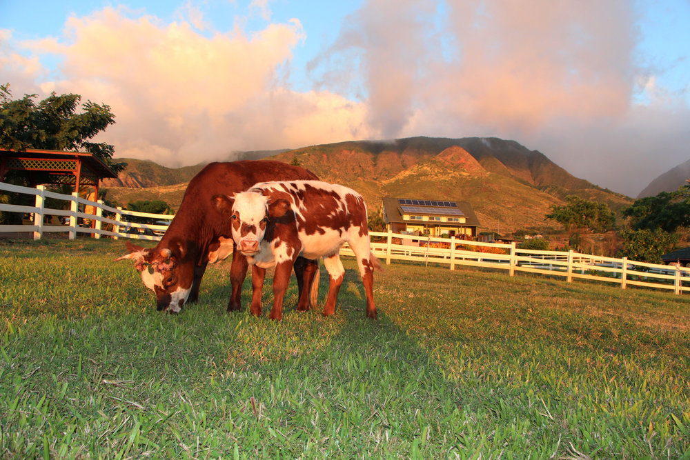 "Miniature cows - Our newest additions are our miniature cow ""Kuipo"" (Sweetheart) and her baby calf ""Pono"" (Good or Right), they are truly a joy to see. They love getting yummy treats!"