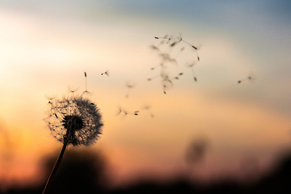 photo of dandelion and seeds being blown to represent mindfulness and wellbeing in gloucestershire.jpg