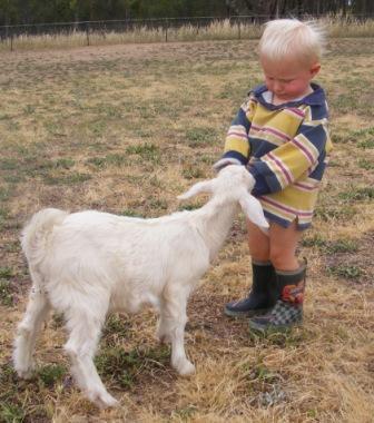 Why buy a miniature goat.JPG