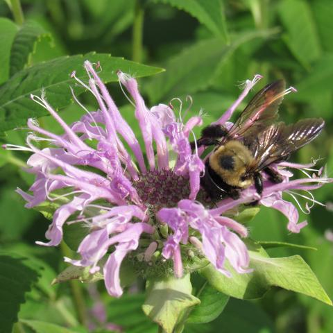 Wild Bee-Balm