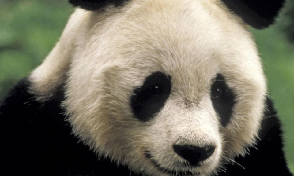 panda_eyes.jpg