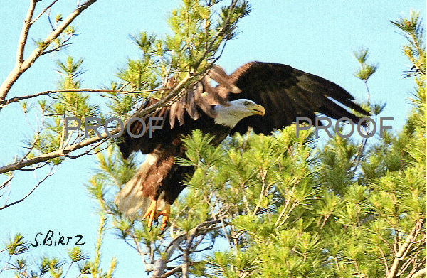 7. Eagle Coming in for Landing in Tree