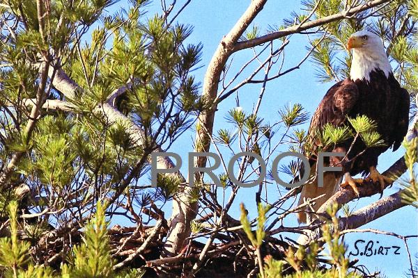8. Eagle on Tree near Nest