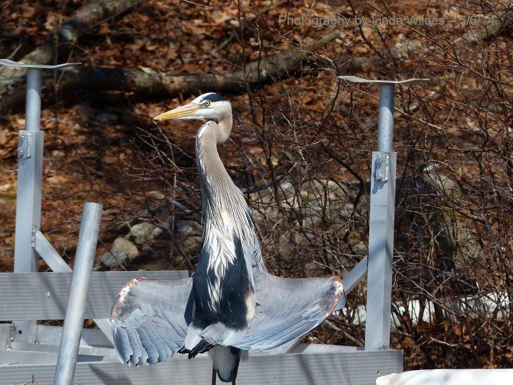 HeronDrying.2014.05.06.LW.jpg