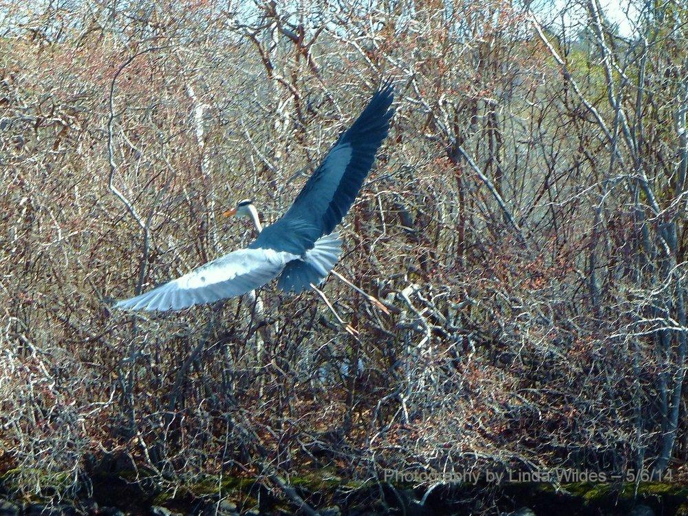 HeronFlying.2014.05.06.LW.jpg