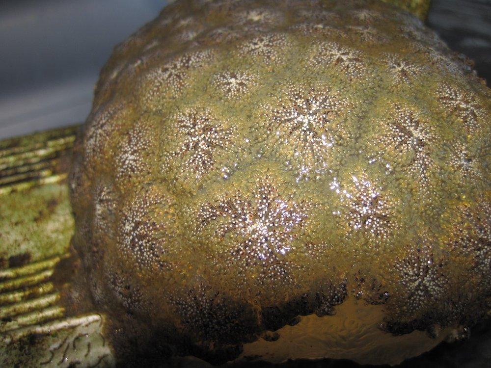 pectinatella magnifica2.JPG