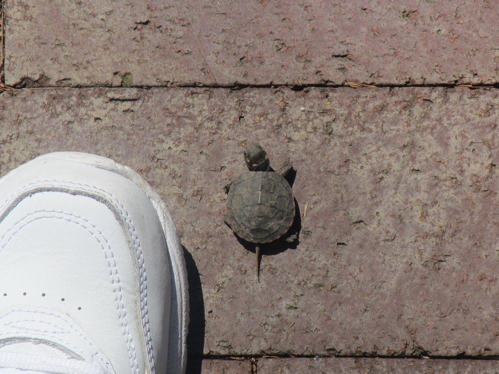 TurtleBabywithFoot.JPG