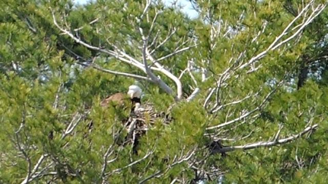 EagletChick2014.04.22.jpg