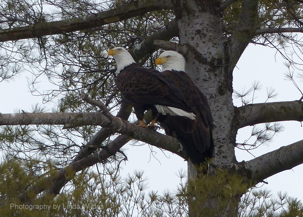 EaglePair3.2014.05.11.LW.B.jpg