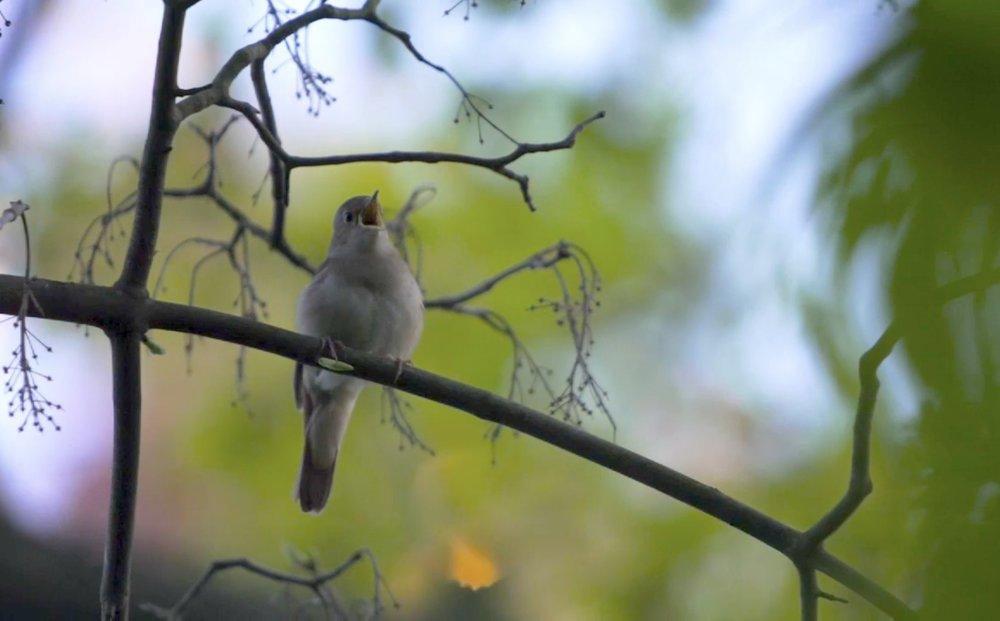 nightingale hasenheide beak open copy.jpg