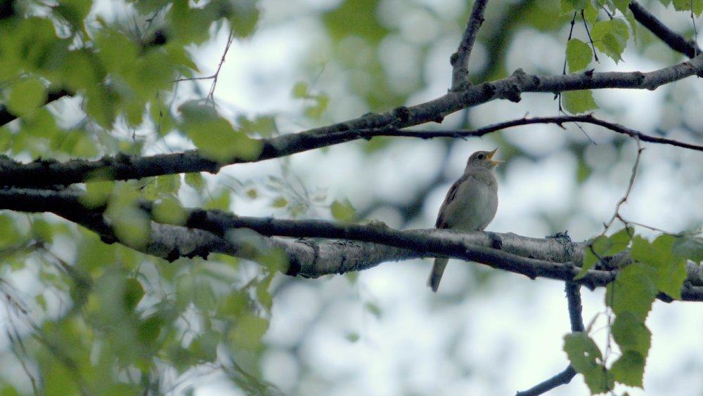 helsinki nightingale morning.jpg