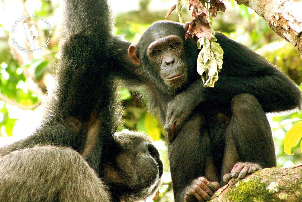 3. Jenny groomed by alpha male Sylvester.JPG