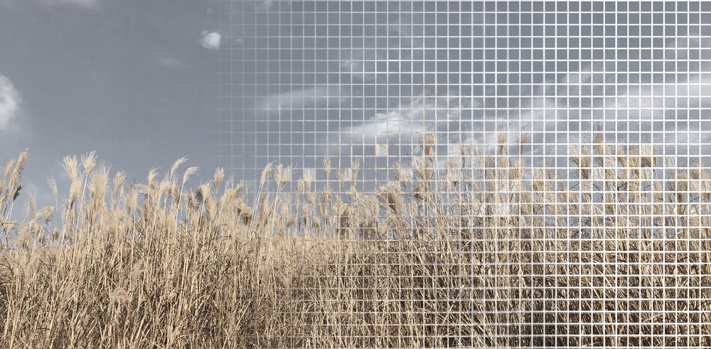 common reeds pic.jpg