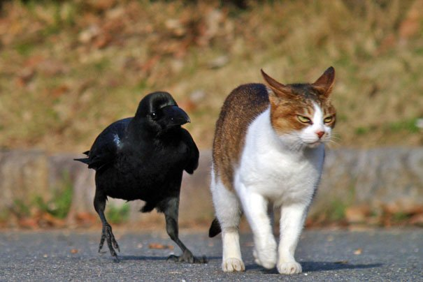 Source: https://www.reddit.com/r/pics/comments/9s3ugi/a_crow_is_walking_a_cat/