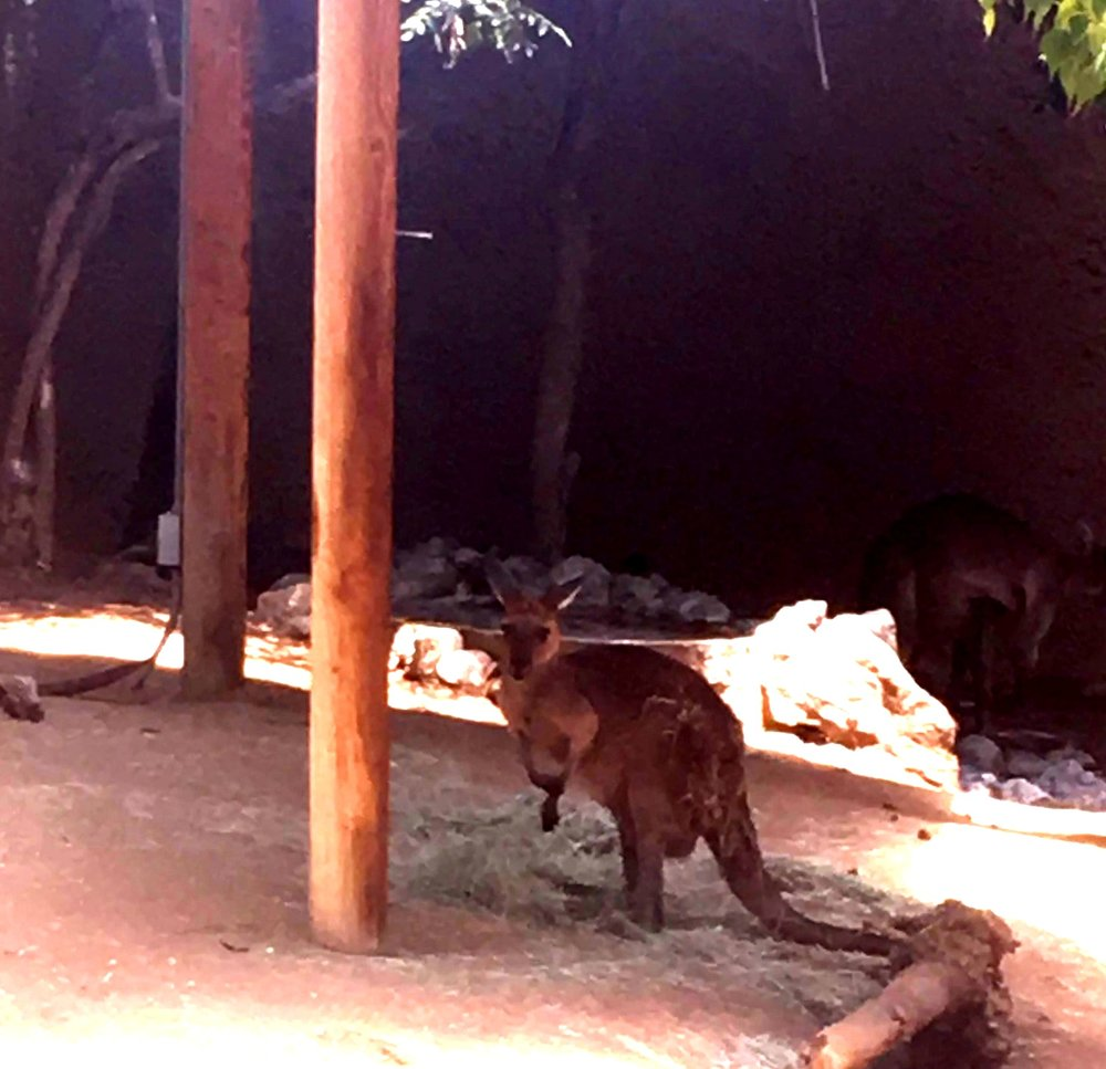 The Wallabies, not to be confused with Kangaroos at the LA Zoo
