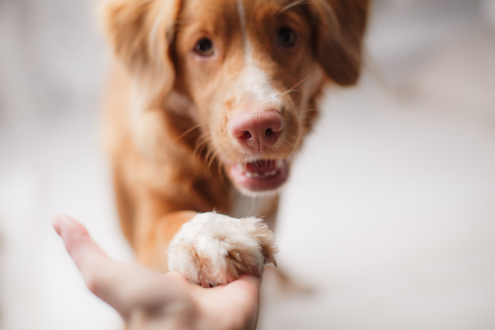 Dog extending paw to human hand