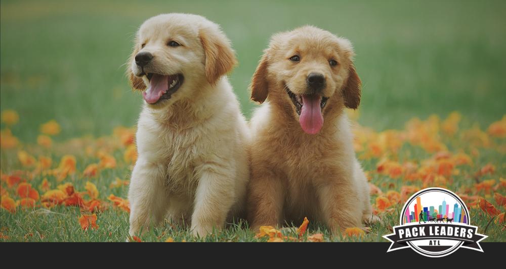 atlanta-midtown-dog-walkers-pet-sitters-blog-puppy