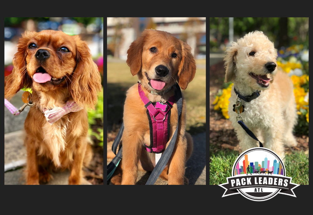 atlanta-puppy-care-dog-walkers-pet-sitters