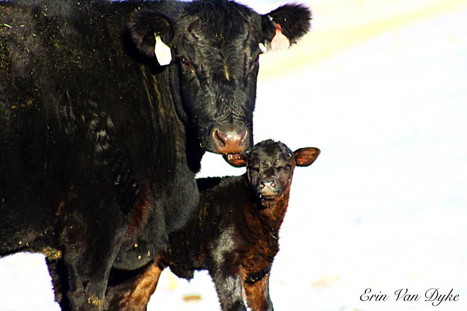 WMR cow calf.jpg