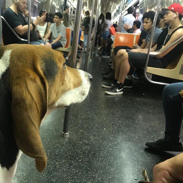 Deep thoughts on the subway . . 📷by @duncan_rules . . #GforG #CityGirl #dogsofinstgram #adoptdontshop #coonhoundsofnyc #treeingwalkercoonhound #nyc #nycsubway #gtrain