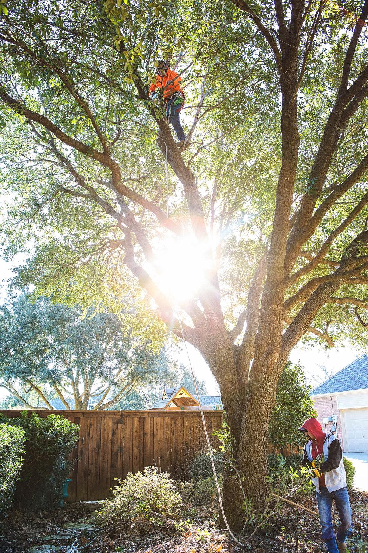 Tree Trimming in Southlake Texas (9 of 23).jpg