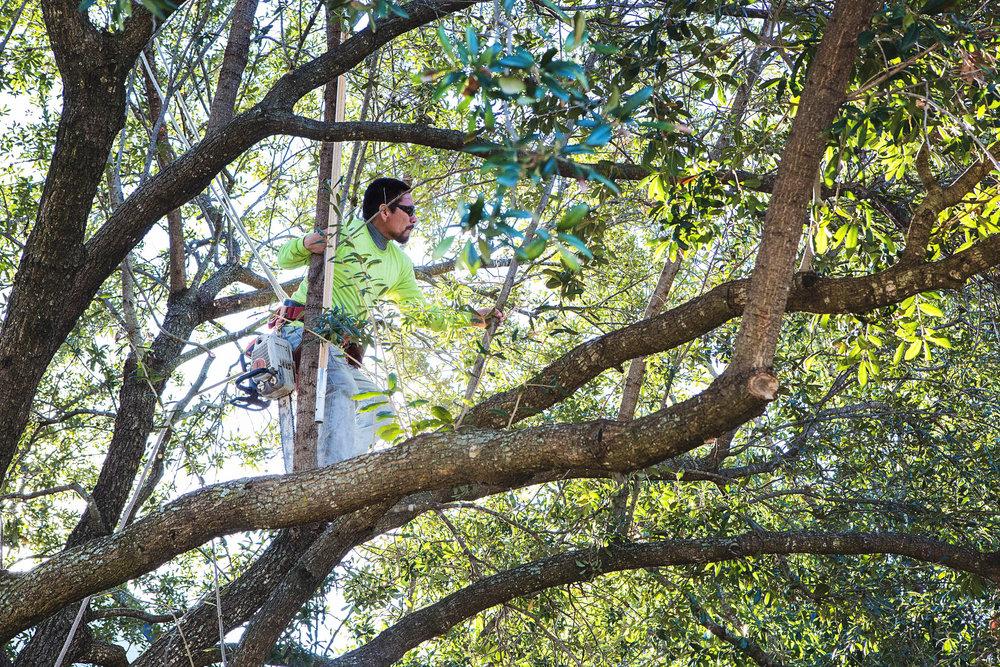 Tree Trimming in Southlake Texas (11 of 23).jpg