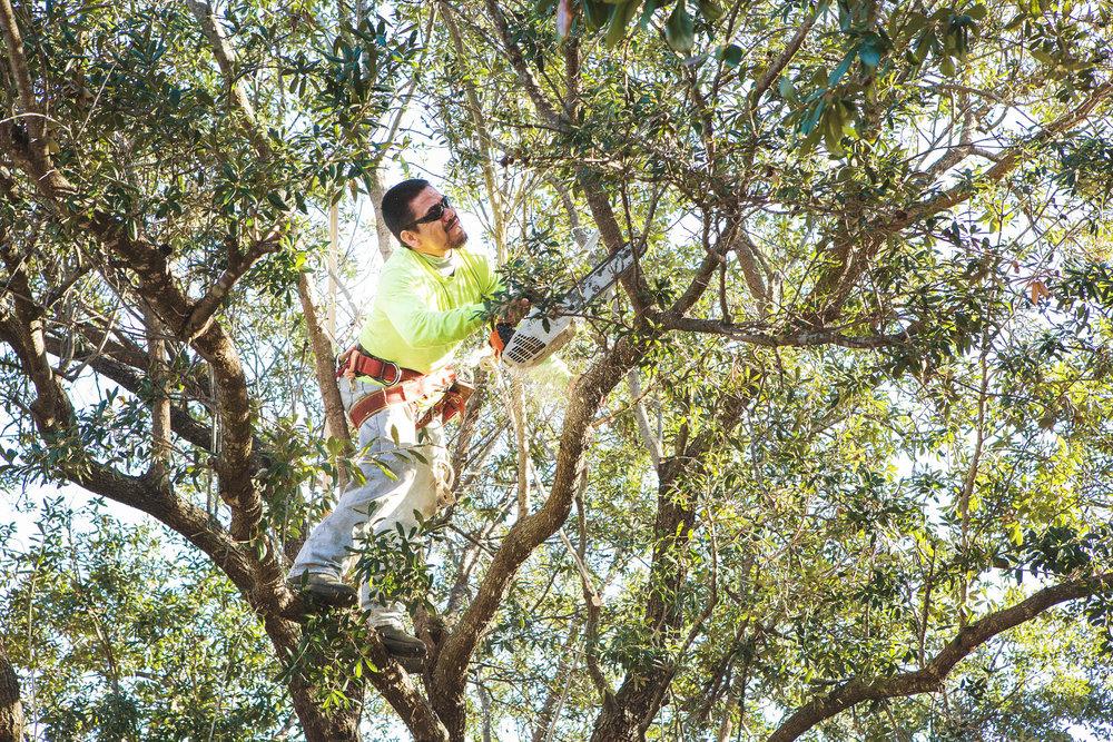 Tree Trimming in Southlake Texas (12 of 23).jpg