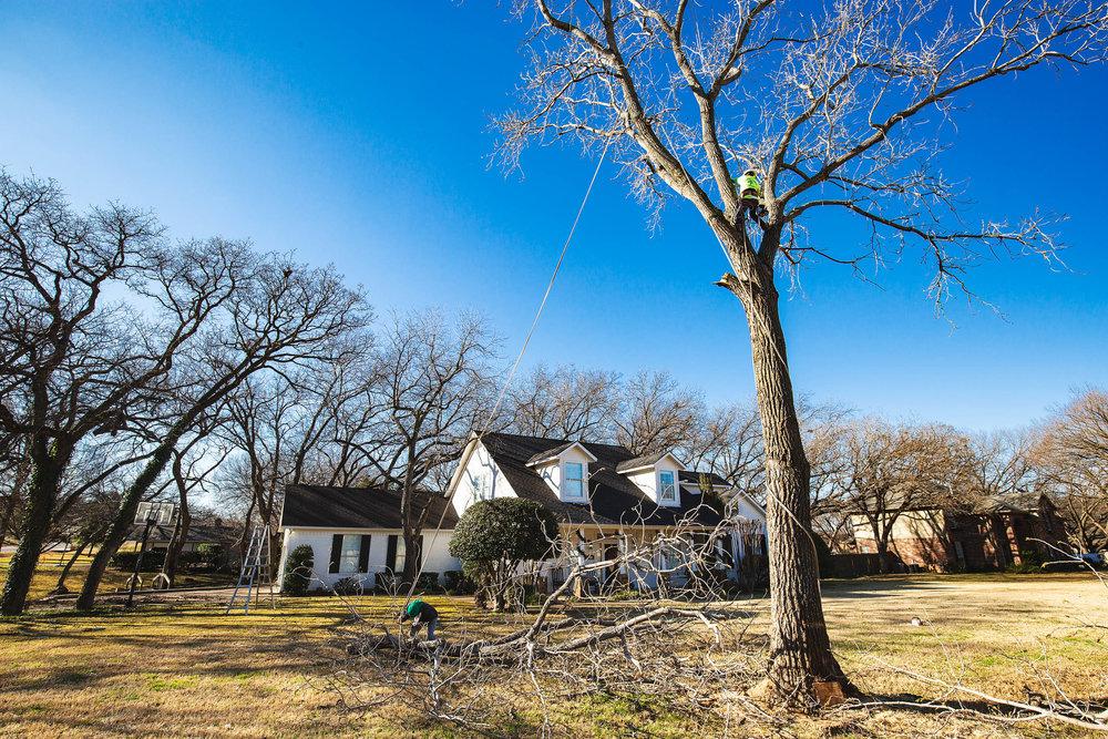 Tree Trim Service in keller Texas (1 of 49).jpg