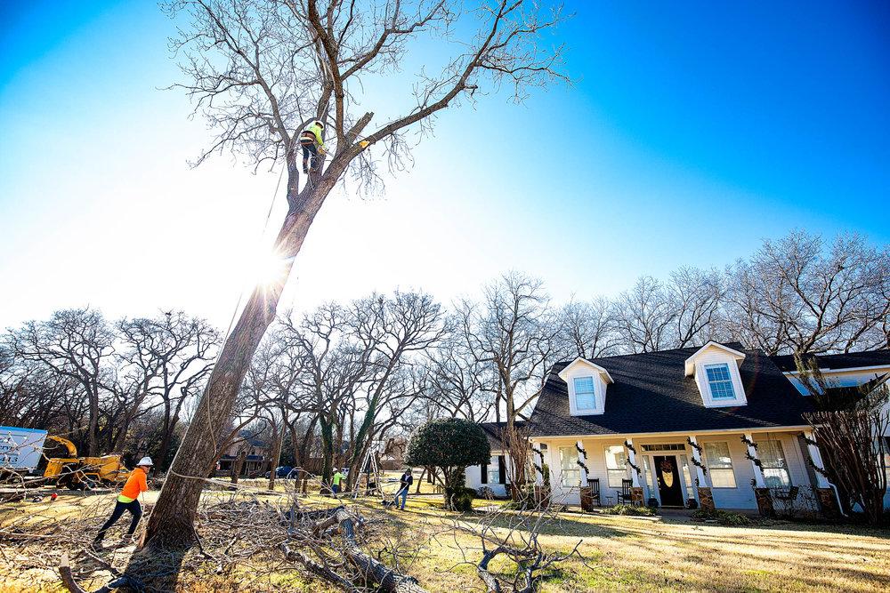 Tree Trim Service in keller Texas (17 of 49).jpg