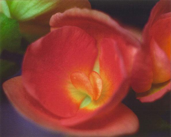 redheart-flower.jpg