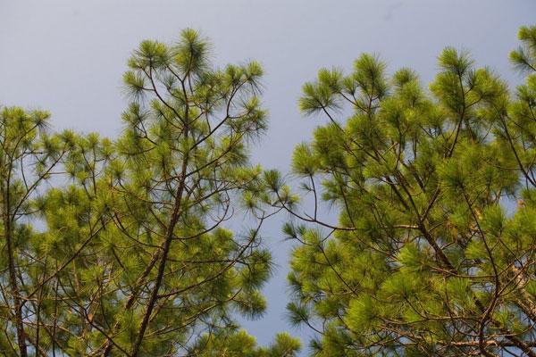 Kingstree Timber Tract Pine Treetops