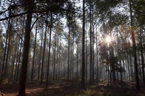 Newport Timber Tract Pine Forest