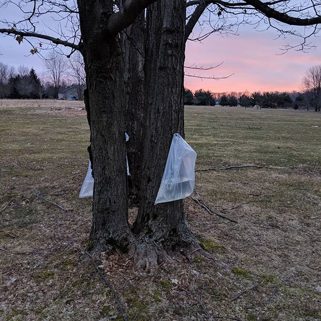 Every year our Amish neighbors tap our maple trees, and we know spring must be right around the corner. The bags are not as picturesque as the metal buckets they formerly used, but we are still happy to get fresh maple syrup as a thank-you. How do you know spring is on the way? . . . #ohio #maple #ohiotranslator #translator #freelancer #freelancelife #traductora #traduccion #español #inglés #spanish #spanishtoenglish