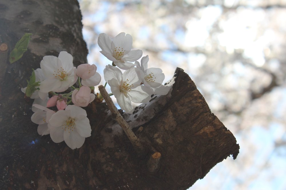 Hanami Cherry Blossoms