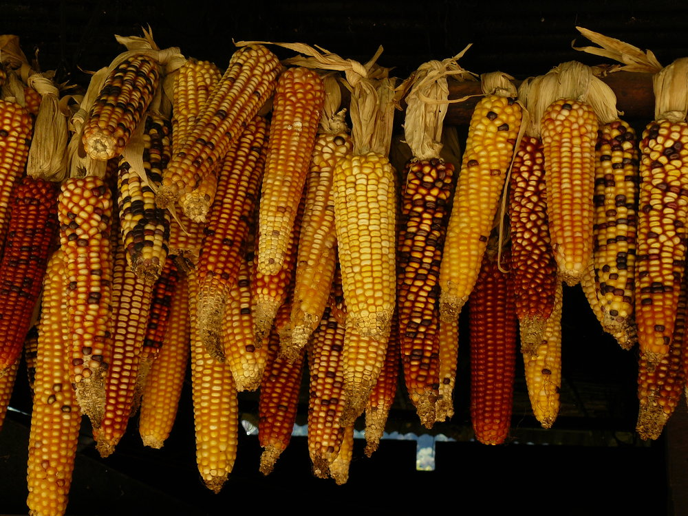 sweet corn - Less than 2 percent of sweet corn samples had any detected pesticide residues.A small amount of sweet corn is grown from Roundup Ready genetically engineered seeds. Buy organic corn to avoid GE crops.